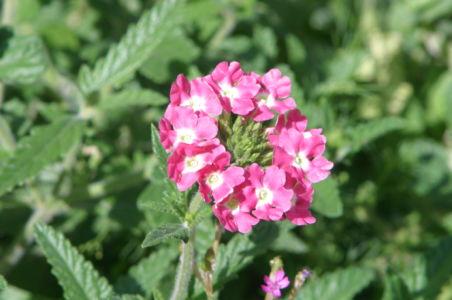 Botanical56
